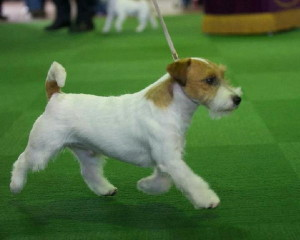Ronnie_gaiting_at_Westminster_Dog_Show_2013